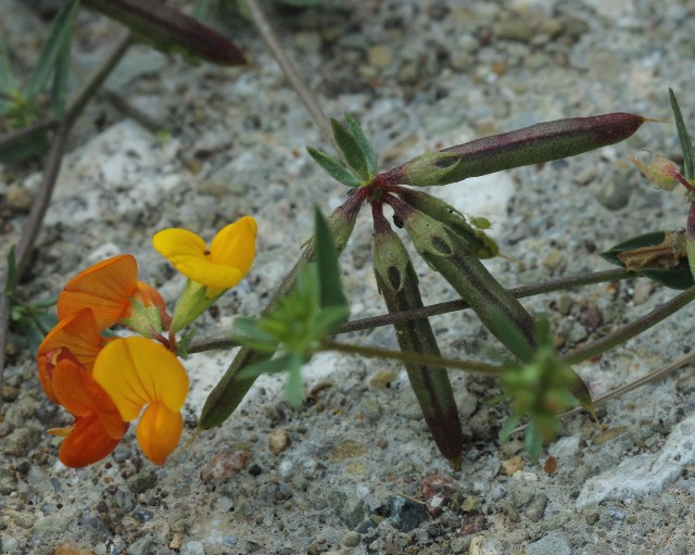 Birds-foot Trefoil_2881