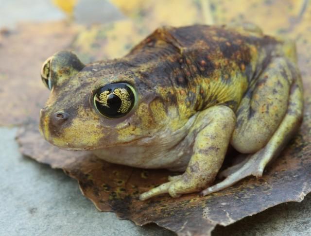 01 Spadefoot Toad_3243
