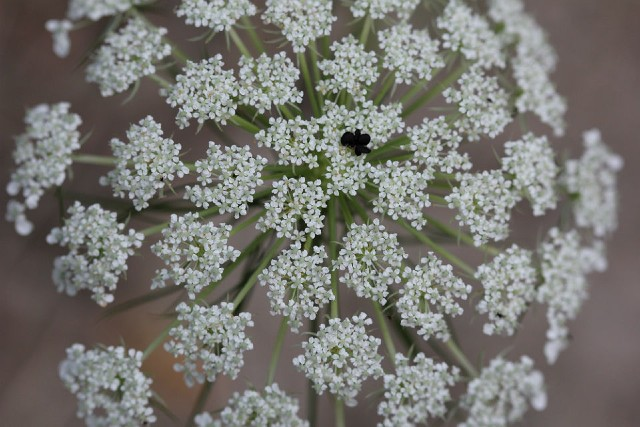 02 Queen Anne's Lace 008