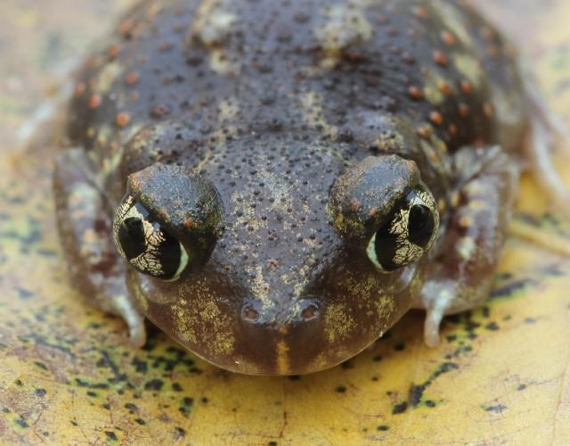 02 Spadefoot Toad_3253