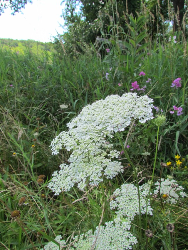 03 Queen Anne's Lace_2217