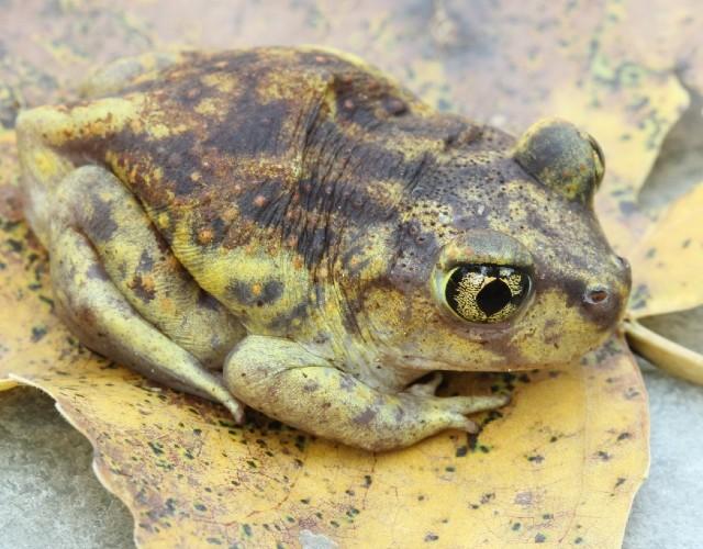 03 Spadefoot Toad_3246