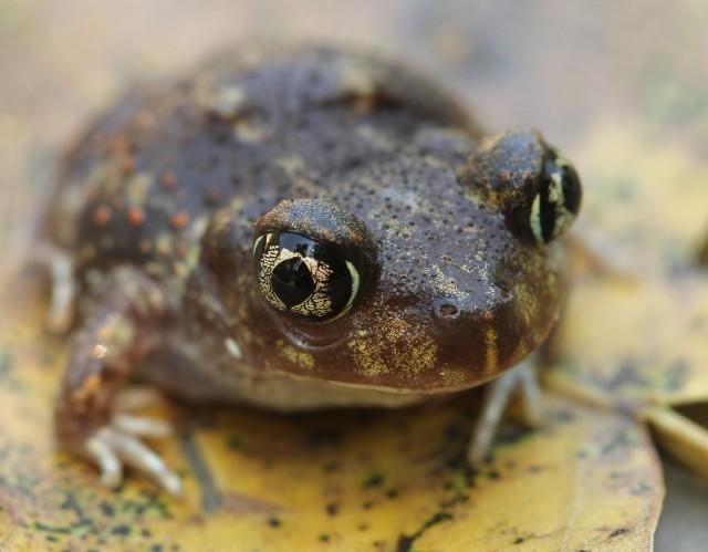 05 Spadefoot Toad_3258