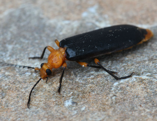 02 Fire-colored Beetle_9819