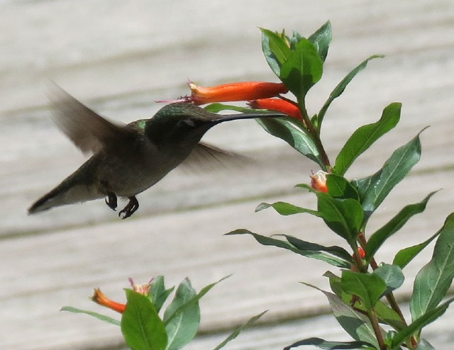 02 Ruby-throated Hummingbird_6805