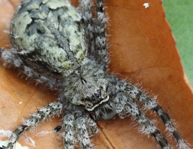 05 White Banded Fishing Spider_0441