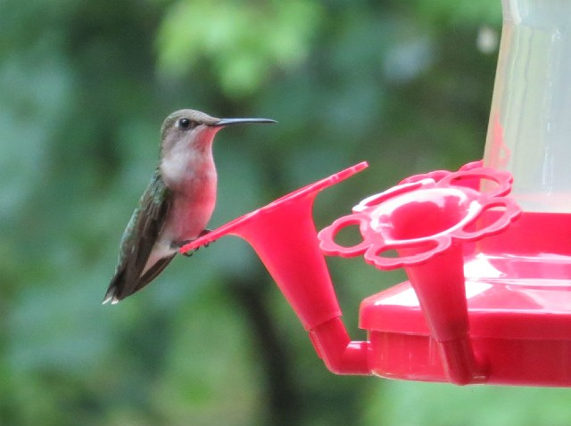 06 Ruby-throated Hummingbird_5965