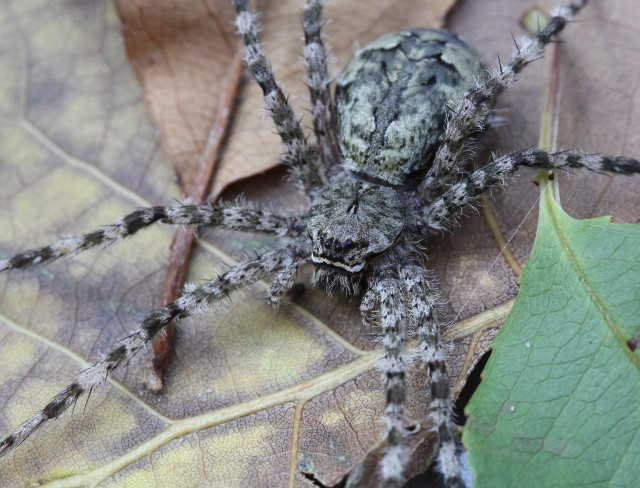 06 White Banded Fishing Spider_0442