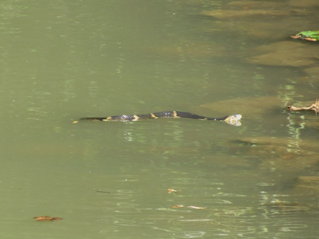 02 Broad-banded Water Snake_9271