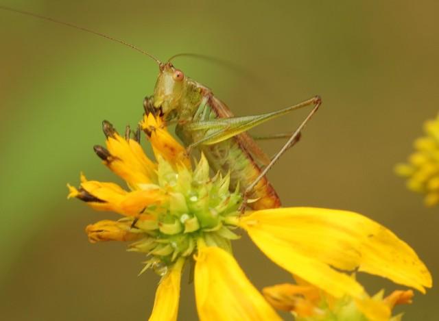 04 Longhorn Grasshopper_3883