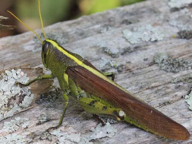 3 Obscure Bird Grasshopper_10_08sr 221