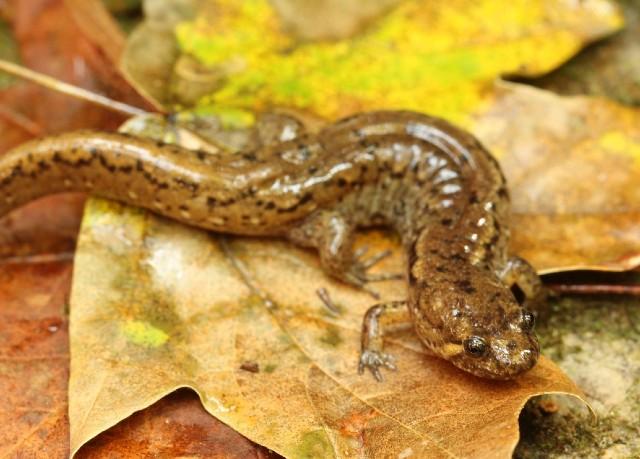 04 Spotted Dusky Salamander_4290