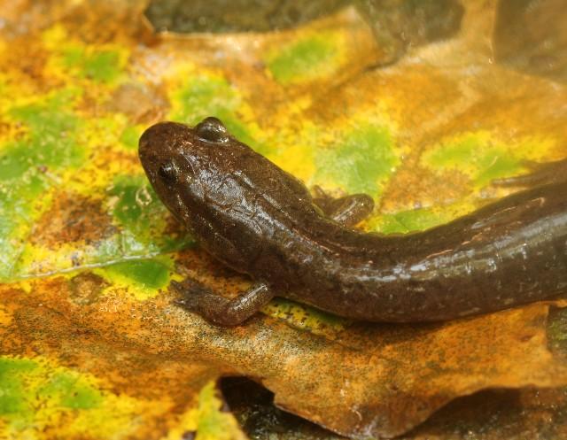 05 Spotted Dusky Salamander_4292