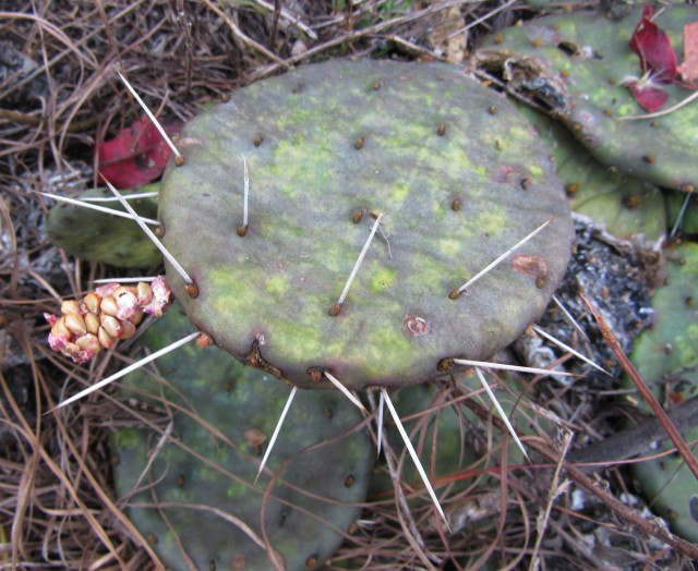 02 Eastern Prickly Pear_9322