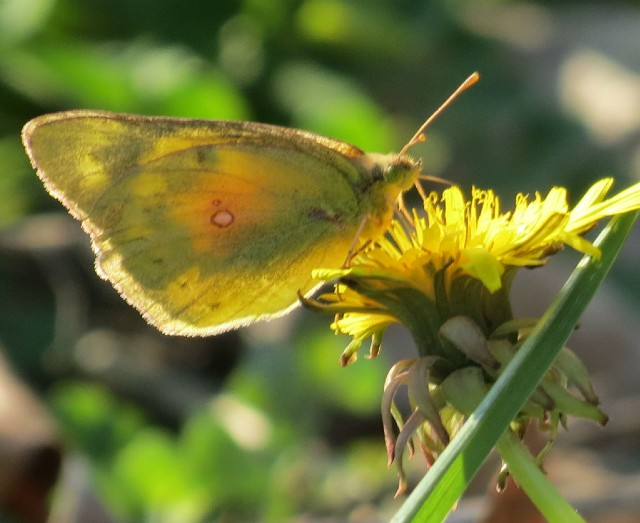 03 Clouded Sulfur Butterfly_9398 (1)