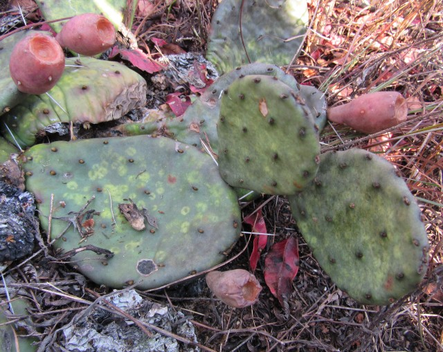 06 Eastern Prickly Pear_9326