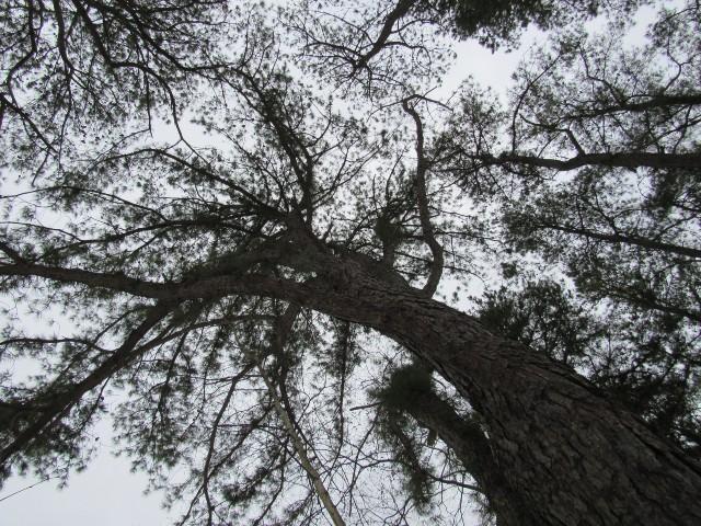 01 Pitch Pine_0533