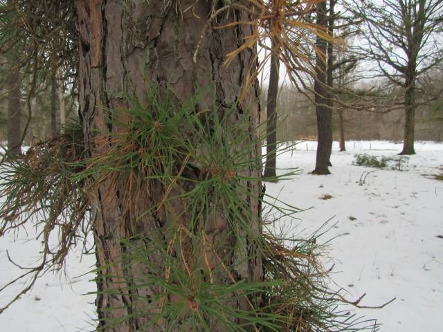 02 Pitch Pine_0525