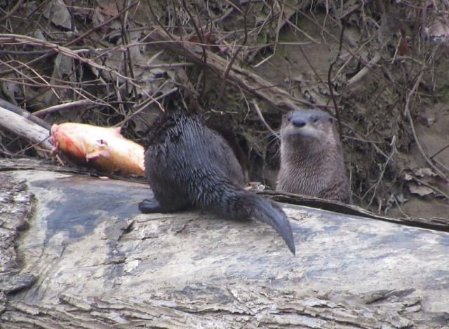 04 River Otters_1348