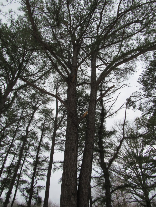 05 Pitch Pine_0522