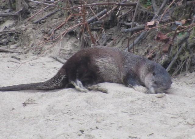 06 River Otter_1401