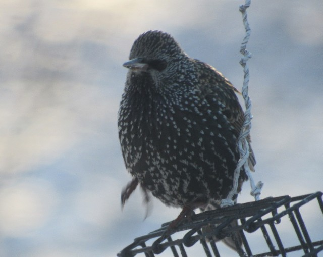05 European Starling_1485