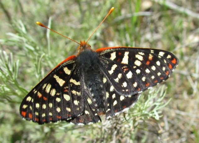 02 Chalcedon Checkerspot_2046