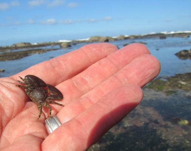 02 Flattop Crab_5297