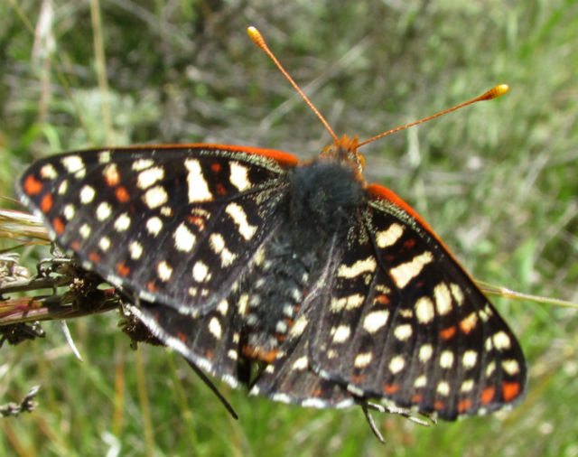 04 Chalcedon Checkerspot_2048