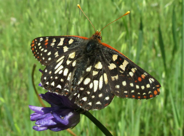 05 Chalcedon Checkerspot_1153