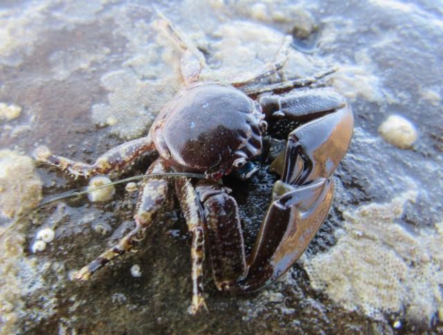 05 Flattop Crab_5300