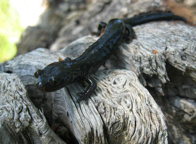 02 Santa Cruz Black Salamander_3689