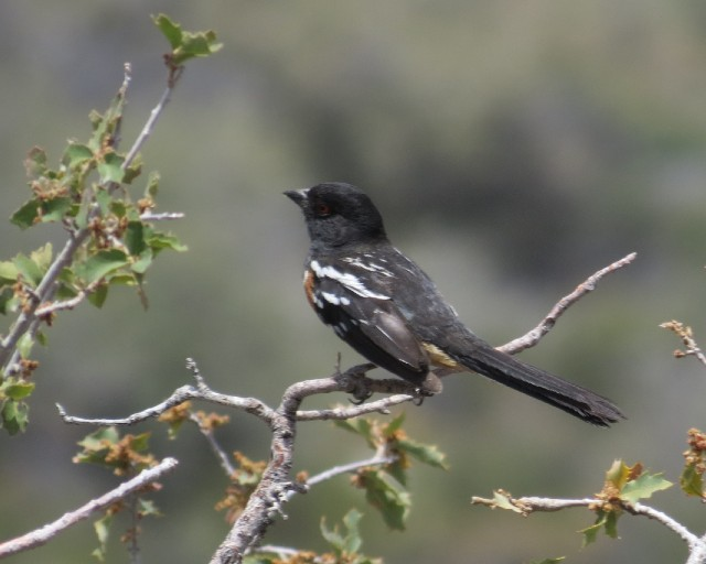 02 Spotted Towhee_4562