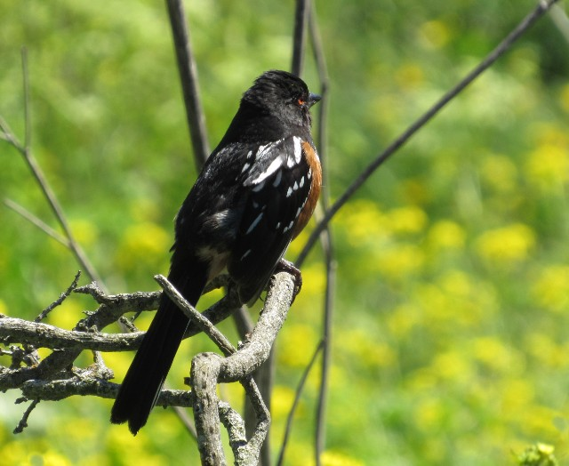 03 Spotted Towhee 5813
