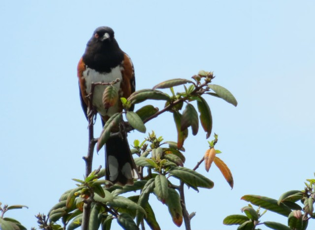 04 Spotted Towhee_0849
