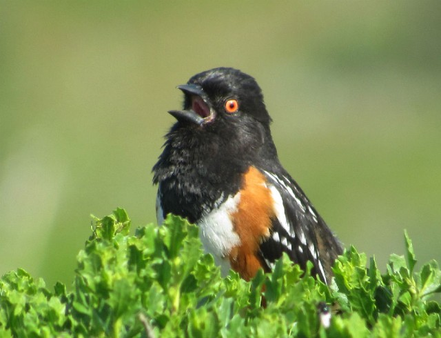 05 Spotted Towhee_2629