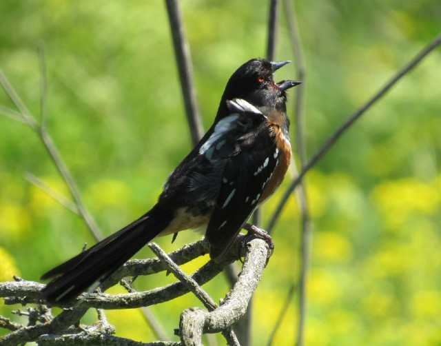06 Spotted Towhee_5810