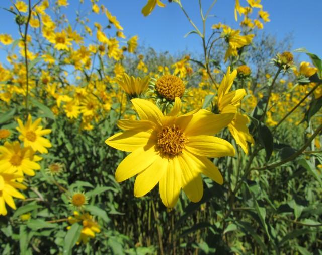 Maximilian Sunflower_8696