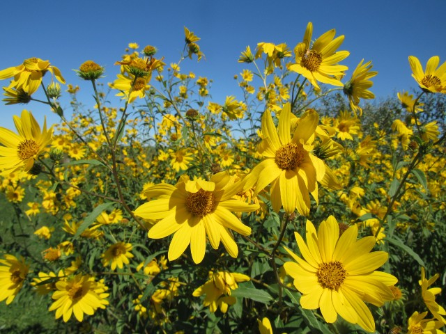 Maximilian Sunflower_8697