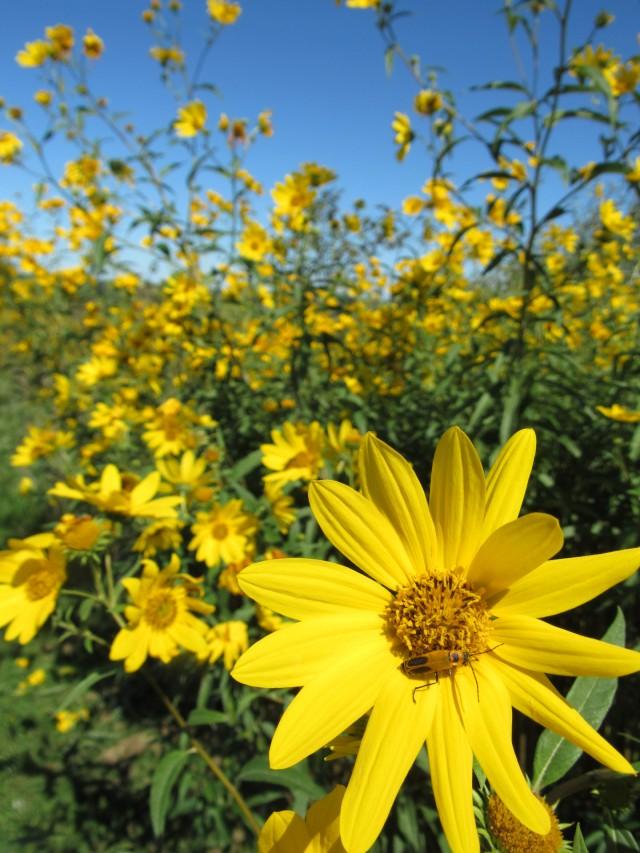 Maximilian Sunflower_8704