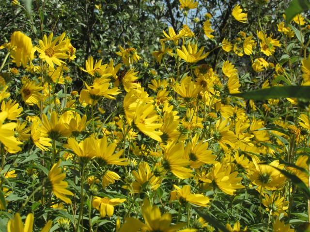 Maximilian Sunflower_8708