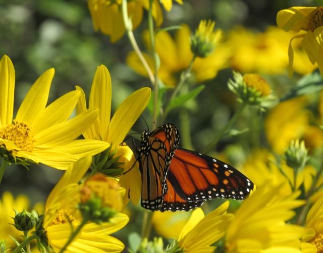 Maximilian Sunflower_8709