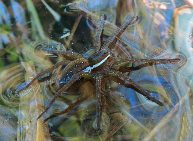 03 Six-spotted Fishing Spider 5601