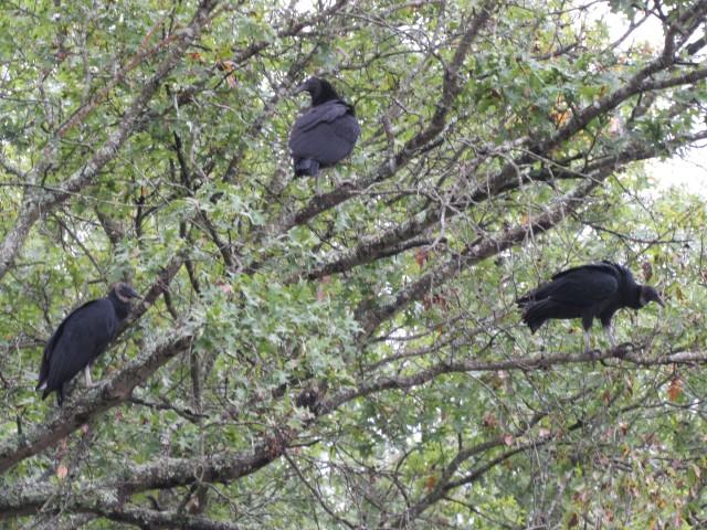 03 Black Vultures_6913